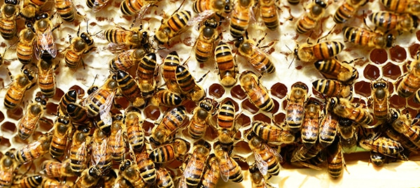 Lots of bees on a honeycomb